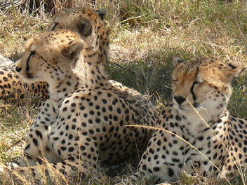 Three cheetahs resting in Shade ! - image gratuit #307195