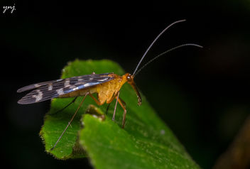 Scorpion Fly - image gratuit #307415