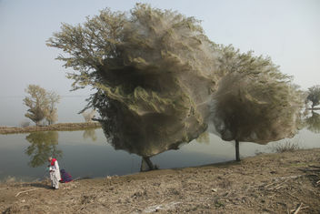 Trees cocooned in spiders webs, an unexpected side effect of the flooding in Sindh, Pakistan - Free image #309265