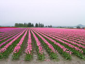 Tulip fields Skagit Valley - Free image #309665