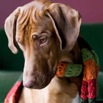 As though we hadn't known it all along: Ridgebacks are fashionable dogs! - image #313815 gratis