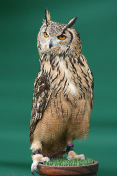 Bengalese Eagle Owl - image #313845 gratis