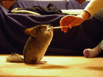 Quito the chinchilla - image #317145 gratis