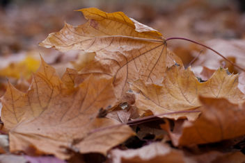 Close-up of autumn leaves fallen to the ground - бесплатный image #321665