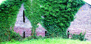 Ivy on an old barn #dailyshoot #Wales - Free image #323605