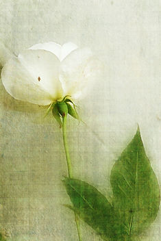 Last white rose of the season - image gratuit #324445