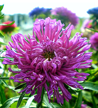 Spider Aster - image gratuit #324695