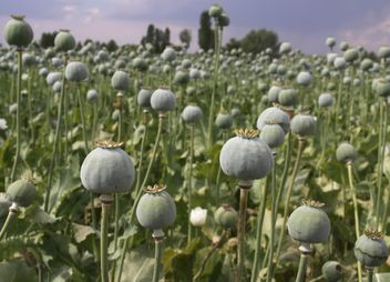 Opium Field in Afyon - Kostenloses image #327295