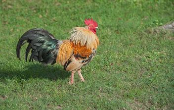 Rooster on grass - image gratuit #328065
