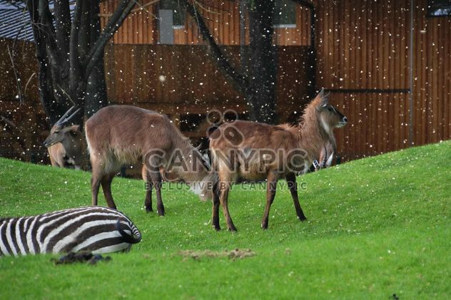deer grazing on the grass - Free image #328085