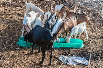 goats on a farm - image gratuit #328105