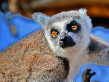 Lemur close up - image gratuit #328475