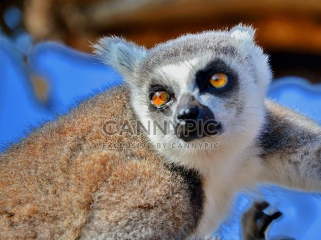 Lemur close up - image #328475 gratis