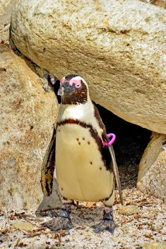a male penguin expecting a girl in front of her house - бесплатный image #328575