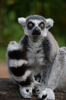 Lemur close up - image gratuit #328585