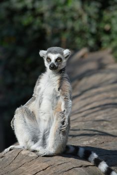 Lemur close up - image gratuit #328615
