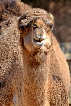 dromedary on farm - image #329045 gratis
