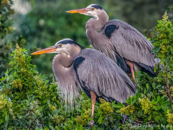 Great Blue Herons - image #329645 gratis