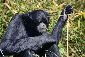 Siamang gibbon female - бесплатный image #330225
