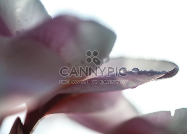 Close up of pink Plumeria - Free image #330855
