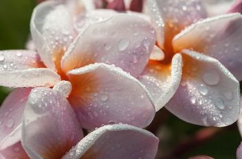 Close up of pink Plumeria - image #330865 gratis