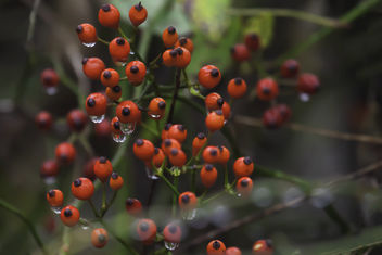 Autumn Berries - Free image #332445