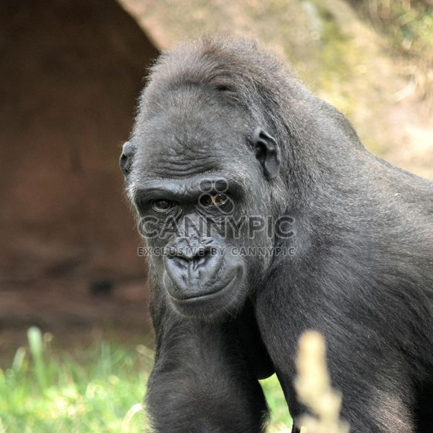 Gorilla portrait in park - бесплатный image #333165