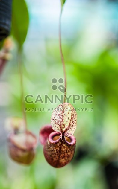 Nepenthes ampullaria, a carnivorous plant - Free image #333285