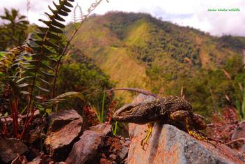 Whorltail iguana or Guagsa (Stenocercus sp.) in Chimboroga, Ecuador - image #334475 gratis