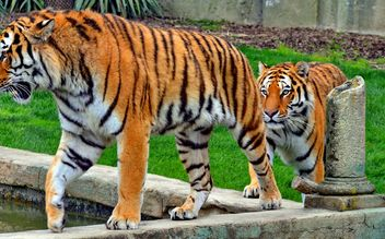 two tigers walking in single file - image gratuit #334795