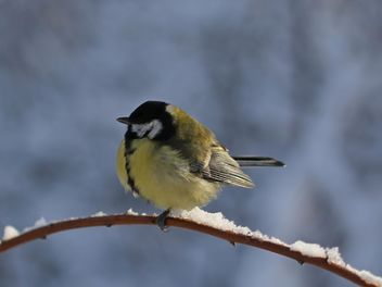 Titmouse sits having ruffled up on a branch of a tree - бесплатный image #335015