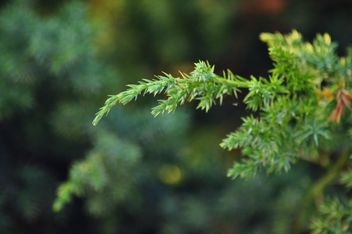 Fir branches - Kostenloses image #335185