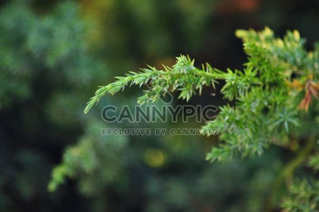 Fir branches - Free image #335185