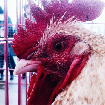Closeup portrait of cock - бесплатный image #337445