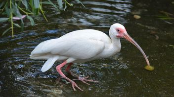 White Ibis in water - Free image #337495