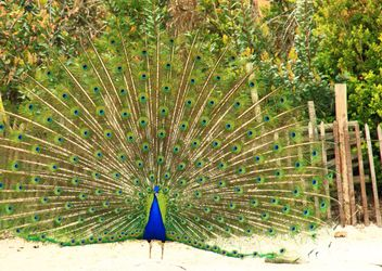 Peacock with feathers out - image #337535 gratis