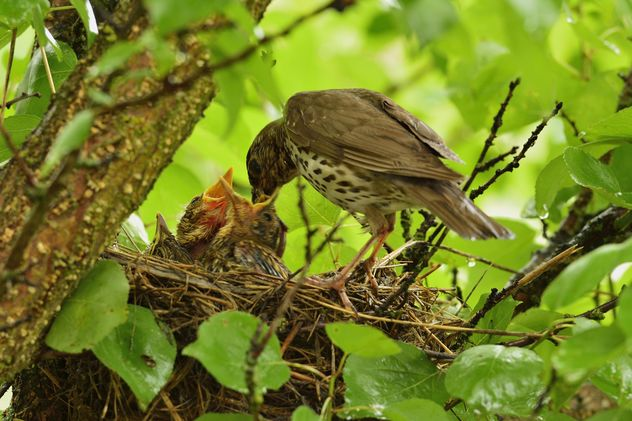 Thrush and nestlings in nest - бесплатный image #337575