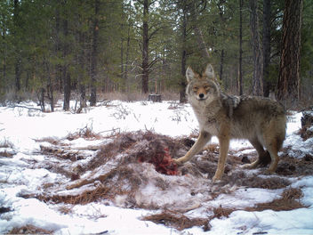 Coyote with Deer - image #337795 gratis