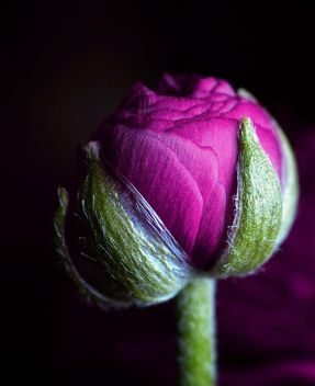 Purple Ranunculus flower - Free image #338275