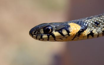 Portrait of grass snake - image #338315 gratis