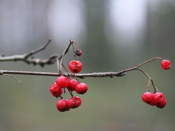 Branch with red berries - image #339175 gratis