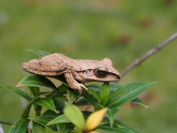 Frog on green leaves - Free image #341285