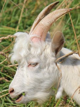 Portrait of white goat - бесплатный image #341295