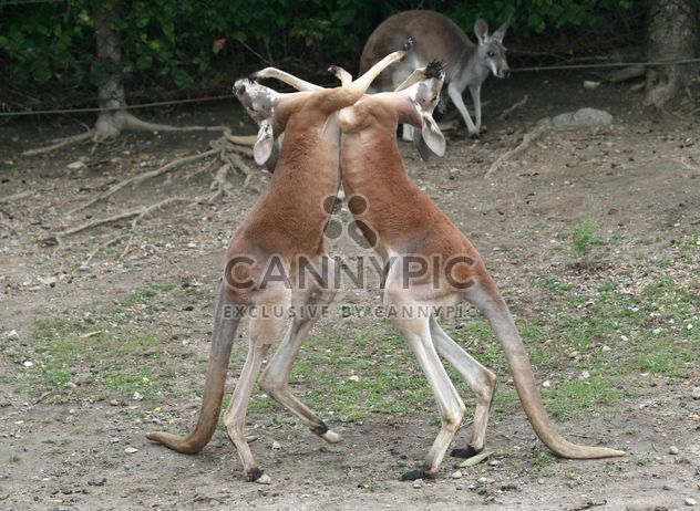 Two boxing kangaroos - Free image #341305