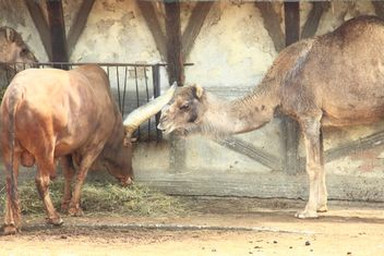 Camel and bull in stable - image #341325 gratis