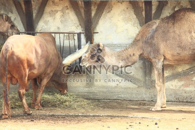 Camel and bull in stable - Free image #341325