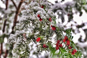 plant with red berries covered with snow - бесплатный image #342865