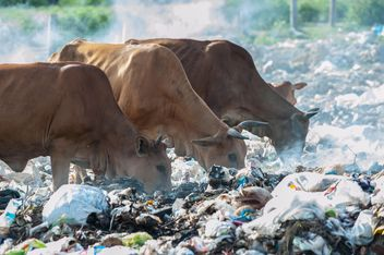 cows on landfill - image gratuit #343835