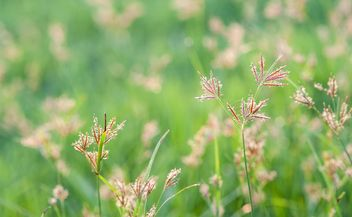 Close-up of spikelets on green background - Free image #343845