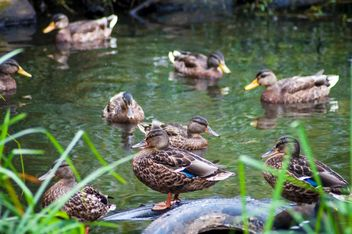 Wild brown ducks on lake - image #345875 gratis